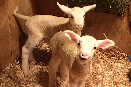 Fromagination blog: The little sheep at Nettle Meadow Farm