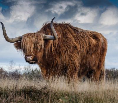 highlandcows  british isles