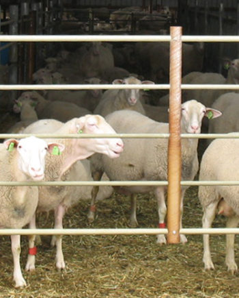 This is a picture of sheep at Hidden Springs Creamery, Westby, Wisconsin.